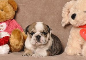English Bulldog Puppy for Sale - Addie