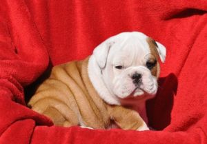 English Bulldog Puppy - Babyface