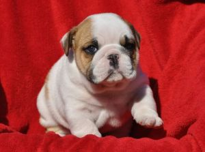 English Bulldog Puppy - Chunks