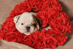 English Bulldog Puppy for Sale - Lacey