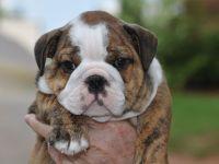 Puppychase English Bulldog Puppy
